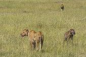 Lions (Panthera leo) and Spotted hyaena (Crocuta crocuta), Masai Mara, Kenya.