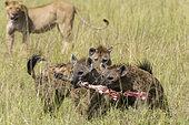 Lion (Panthera leo) and Spotted hyaenas (Crocuta crocuta), Masai Mara, Kenya.