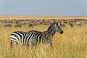 Plains zebras (Equus quagga), Masai Mara, Kenya.