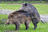 Wild Boar (Sus scrofa), mating, in the woods, Private park, Haute Saône, France
