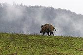 Wild Boar (Sus scrofa), in a meadow, Private park, Haute Saone, France
