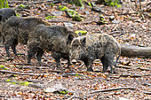 Wild Boar (Sus scrofa), in the woods, Private park, Haute Saone, France