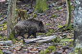 Wild Boar (Sus scrofa), male in the woods, Private park, Haute Saone, France