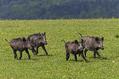 Wild Boar (Sus scrofa) group in a meadow, Private park, Haute Saone, France