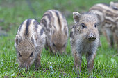 Wild boar (Sus scrofa) piglets on the edge of the woods, in a meadow, private park, Haute-Saône, France
