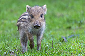 Wild boar (Sus scrofa) piglet on the edge of the woods, in a meadow, private park, Haute-Saône, France