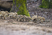 Wild Boar (Sus scrofa ) piglets in the woods, Private park, Haute Saone, France