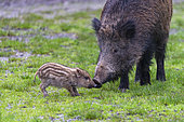 Wild Boar (Sus scrofa ) sow and piglet, Private park, Haute Saone, France