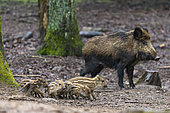 Wild Boar (Sus scrofa ) sow and piglets, Private park, Haute Saone, France