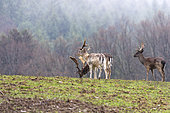 Fallow Deer (Dama dama), males in a meadow on the edge of the woods, private park, Haute-Saône, France
