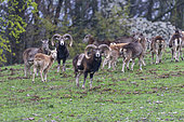 Mouflon Rams (Ovis ammon musimon), in a meadow at the edge of a forest,Private park, Haute Saone,France