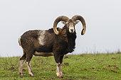 Mouflon Rams (Ovis ammon musimon),one male in a meadow, Private park, Haute Saone, France