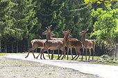 Red deer (Cervus elaphus), group of doe and velvet braces crossing a track in the undergrowth, private park, Haute-Saône, France