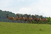 red deer (Cervus elaphus), females and young deers (Velvet covered deer antlers) in a meadow on the edge of the forest, private park, Haute-Saône, France