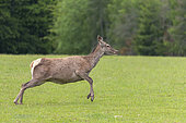 Red deer (Cervus elaphus), doe in a meadow on the edge of the forest, private park, Haute-Saône, France