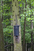 Automatic system of agrainage attached to a tree trunk, agrainage of wild boars (Sus scrofa), Distribution of food, private park, Haute-Saône, France