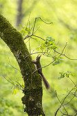 Red squirrel (Sciurus vulgaris) climbing a tree, Vaud, Switzerland