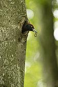 Black woodpecker (Dryocopus martius), nesting with a faecal sac in its beak, Vaud, Switzerland