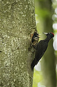 Black Woodpecker (Dryocopus martius) Male at nest with young, Vaud, Switzerland