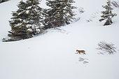 Eurasian Lynx (Lynx lynx) Male in the snow, Fribourg Alps, Switzerland.