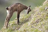 Alpine Chamois (Rupicapra rupicapra) young streching in the grass, Swiss Jura.