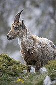 Alpine Ibex (Capra ibex) female, French Alps.