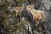 Alpine Ibex (Capra ibex) female and its newly born young, still with the umbilical cord, French Alps.