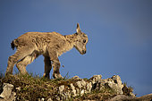 Alpine Ibex (Capra ibex) newly born young, still with the umbilical cord, French Alps.