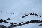 Alpine ibex (Capra ibex) group of males on snow, French Alps