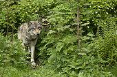 European wolf (Canis lupus lupus), female, in a wildlife park, Vaud, Switzerland.