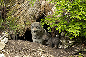 European wolf (Canis lupus lupus), female and her young in her den, in a wildlife park, Vaud, Switzerland.