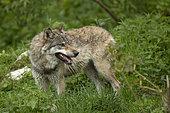 European wolf (Canis lupus lupus) in a wildlife park, Vaud, Switzerland.