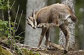 Alpine Chamois (Rupicapra rupicapra) yearling, Swiss Jura.