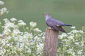 Cuckoo (Cuculus canorus) perched on a post amongst cow parsley (Anthriscus sylvestris), England