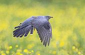 Cuckoo (Cuculus canorus) in flight over buttercups, England