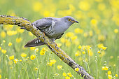 Cuckoo (Cuculus canorus) perched amongst buttercup (Ranunculus), England