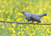 Cuckoo (Cuculus canorus) perched amongst buttercup (Ranunculus sp), England