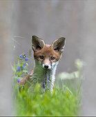 Red fox (Vulpes vulpes) cub standing near a tombstone, England