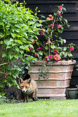 Red fox (Vulpes vulpes) in a house garden, England