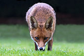 Red fox (Vulpes vulpes) in a house garden, Angleterre