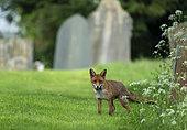 Red fox (Vulpes vulpes) amongst tombstones, England