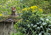 Red fox (Vulpes vulpes) standing on top of a wall, England