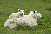 Sheep ( Ovis aries) young lying on mother`s back, England