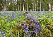 Grey squirrel (Sciurus carolinensis) standing on a tree stump, England
