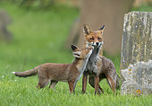 Red fox (Vulpes vulpes) cub begging for food to vixenamongst tombstones