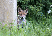 Red fox (Vulpes vulpes) cub amongst tombstones, England