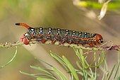Spurge Hawk-moth (Hyles euphorbiae), caterpillar feeding on its food plant, a Cypress Spurge (Euphorbia cyparissias), Hesse, Germany, Europe
