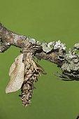 Bagworm moth (Psychidae), caterpillar, Sinton, Coastal Bend, Texas, USA, North America