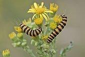 Caterpillars from Cinnabar Moth (Tyria jacobaeae), Emsland, Lower Saxony, Germany, Europe