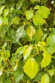 English Ivy (Hedera helix) 'Oro di Bogliasco'